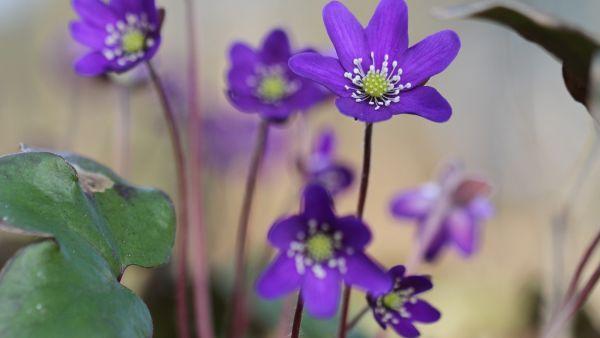 våra vanligaste blommor