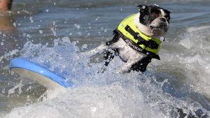 En hund på en surfbärda i vattnet på Huntington Beach i Kalifornien, USA, år 2013.