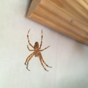 Britt-Mari Blomqvist undrar vad det här är för en spindel som hittas i huset än här och än där. Kroppen är ca. en halv centimeter och med benen är den ca. tre cm.