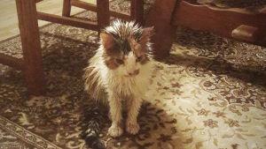 En katt som står på en matta. Katten är dränkt i något för pälsen är våt.