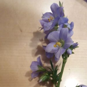 Fru Östman från Pedersöre funderar vad detta är för blomma som fanns mellan järnvägen och landsvägen i Pedersöre. Hon undrar om det kan vara blågull.