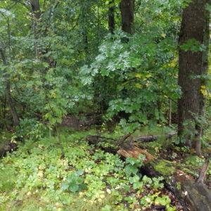 Ett lövträd i en skog.