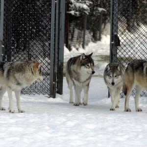 Vargar i Etseri djurpark 2012.