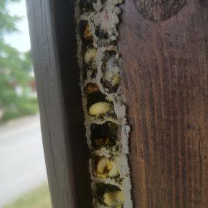Mona överraskades av ett celltorn med tjocka, ljusa larver i fönsterkarmen. Vad är det för gäster hon fått?