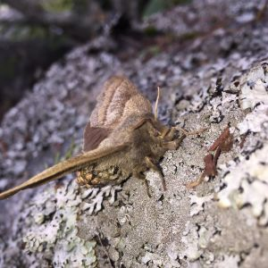 Kristina såg på Replot en vilt flaxande fjäril som verkade ha för tung kropp för att kunna lyfta. Bakkroppen såg ut som om den höll på att spricka upp av ägg. Vad är det för fjäril och vad sysslade den med?