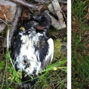 Jeanette hittade denna fågel på Rågskär utanför Bergö. Den är betydligt större än en knipa, svart undertill och den har grå simhud. Vad kan det här vara för fågel undrar hon.