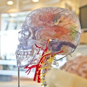 En plastmodell av ett mänskligt huvud.
