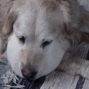 En hund som har blivit biten av en orm