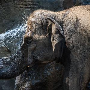 Indisk elefant på zoo i Prag. Elefanten har använts som symbol i debatten om globaliseringen.