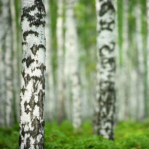 En närbild på en björkstam i en björkskog.