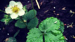 Regndroppar på smultronblad och blomma