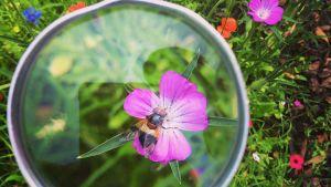 en blomma och en humla sett genom förstoringsgals