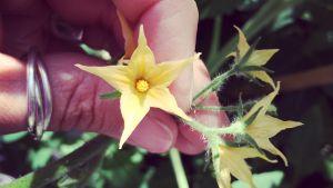 hand håller i en blomma på en gurkplanta