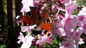 Påfågelögafjäril sitter på en rosa floxblomma