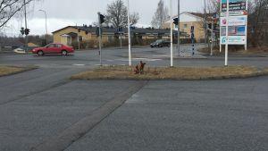 Alakuloisen näköinen susikoira istuu lyyhässä 2. korva lerpallaan