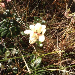 Ett lingonris med helt vita blad och ljusröd stjälk. Övrigt lingonris i normala färger. Svampinfektion undrar Tomas i Åbo.