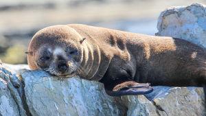 Merikarhujen eli turkishylkeiden kuuttien ensimmäinen elinvuosi Uuden-Seelannin rannikolla on ankaraa selviytymiskamppailua.