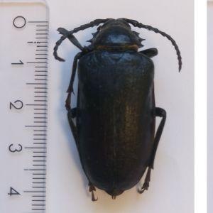 Katarina Nordgren hittade denna insekt i Bromarf drunknad i en vattenkanna. Vad kan det vara och varifrån kommer den, undrar hon.