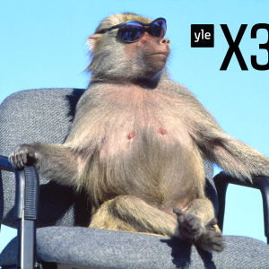 En apa i solglasögon som sitter på en kontorsstol.