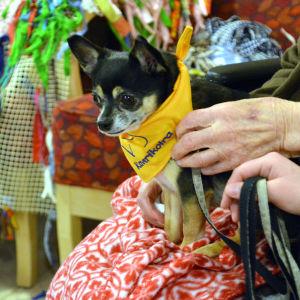 Chihuahuan Tico fungerar som Kennelklubbens kompishund.