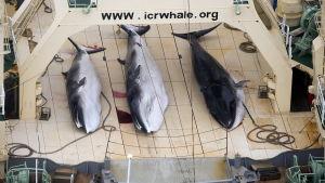 Vikvalar på japanskt fångstfartyg i antarktiska oceanen.