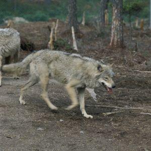 Två vargar i en skog