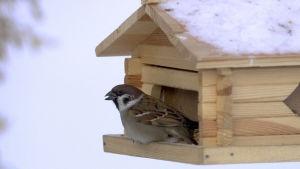 pilfink på fågelbräde