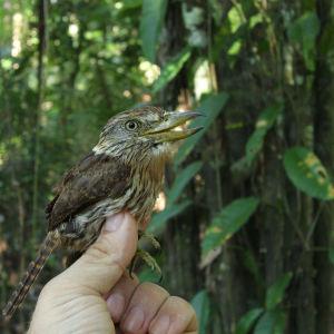 En av de nya arterna som har upptäckts är Obamatrögfågeln.