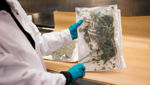En påse cannabis i ett laboratorium.