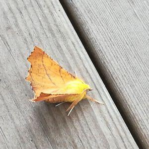 Gun Olin undrar vad denna vackert kamoflerade fjäril heter.