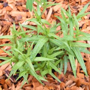 Liten planta kärrtörel med spretiga spetsiga blad, marken är täckt av barkflis