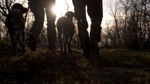 Metsästäjät kävelevät auringonlaskuun kahden metsästyskoiran kanssa.