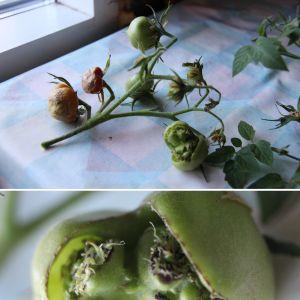 """Ann-Marie Löfdahl brukar driva upp tomater själv och undrar varför en av årets plantor hade lite """"konstiga"""" frukter."""
