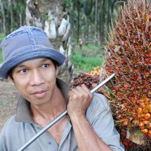 Man bär på frukter från en oljepalm.