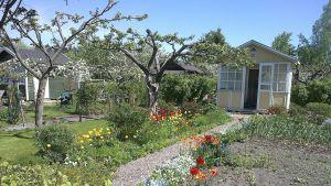 Försommargrönska i Kuppis koloniträdgård i Åbo.
