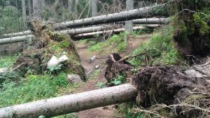 Omkullfallna träd på stig i Sibbo storskog