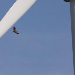 Örn som flyger med ett vindkraftverk i förgrunden.