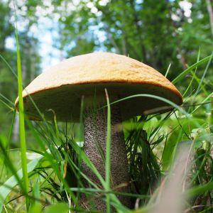 Iso tatti metsässä.