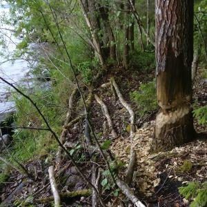 Bengt Gylling har hittat flera avgnagade alstammar på en holme i Kyrösjärvi och kom till slutsatsen att en bäver landstigit på holmen. Är det möjligt att en bäver skulle bosätta sig på en 25 ha holme som ligger ute på öppen fjärd.