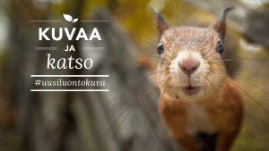 Luontovuoden orava kutsuu kuvaamaan 2