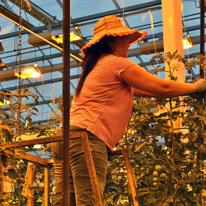 Kvinna jobbar med topparna av tomatplantor