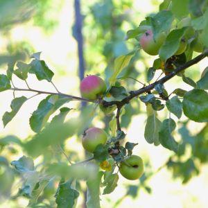 Äppelkart.