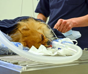 En liten hund ligger nedsövd inför tandröntgen.