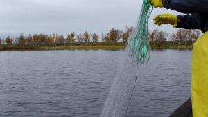 Verkon nostoa soutuveneellä. Järvi, ranta, verkko, kumikäsineet ja veneen laitaa.