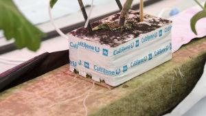 Närbild på tomatplantans rötter som växer i stenull.