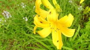 keltainen koristekasvi kukkapenkissä