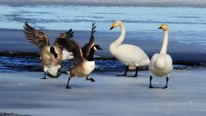 Två gäss och två svanar på is.