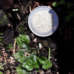 Vad är det för konstiga små blad med skålar som dykt upp i Anns balkonglåda och vad har de för funktion?