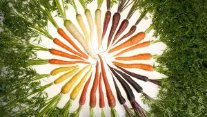 ARSin tutkijat ovat tarkoituksella jalostaneet porkkanoita joiden pigmentointi vastaa lähes kaikkia sateenkaaren värejä. Mikä tärkeämpää, niin ne ovat vieläpä hyvin terveellisiä