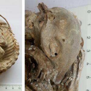 Kenneth levänen har skickat ett mumifiert djur som diskuterades i en tidigare sändning. Den hopkrupa kroppen visade sig vara endast 10 cm i diameter. Kenneth fick ett tipps om att detta kunde vara en ekorre. Är det så?
